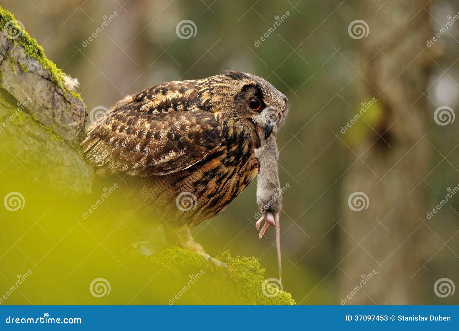 Eurasian Eagle Owl che mangia topo