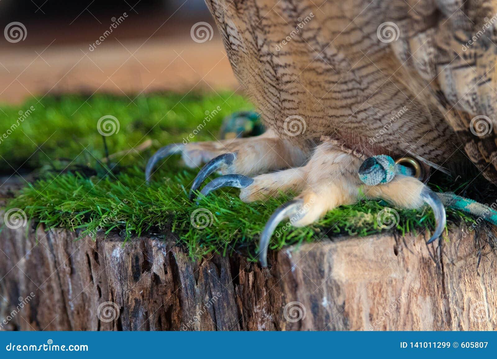 The Eurasian eagle-owl claws. The Eurasian eagle-owl claws, species of eagle-owl resident in much of Eurasia. Place for