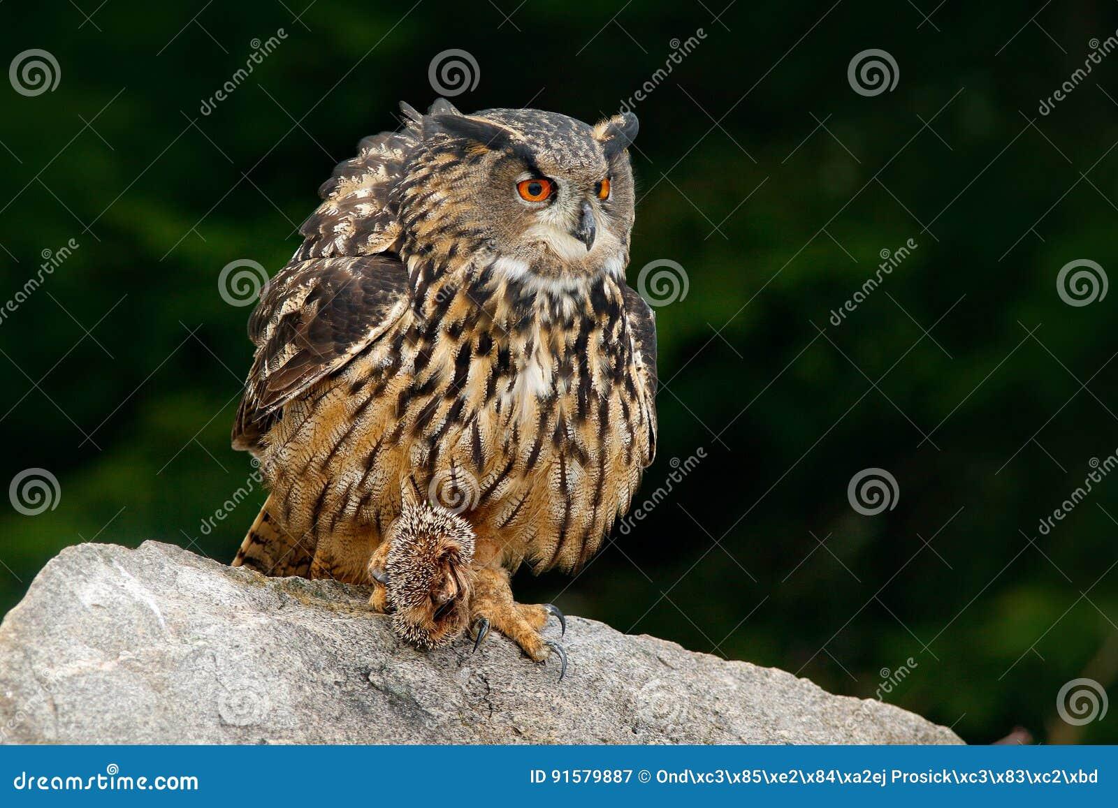 Eurasian Eagle Owl con l istrice di uccisione in matrice, sedentesi sulla pietra Scena della fauna selvatica dalla natura Uccello
