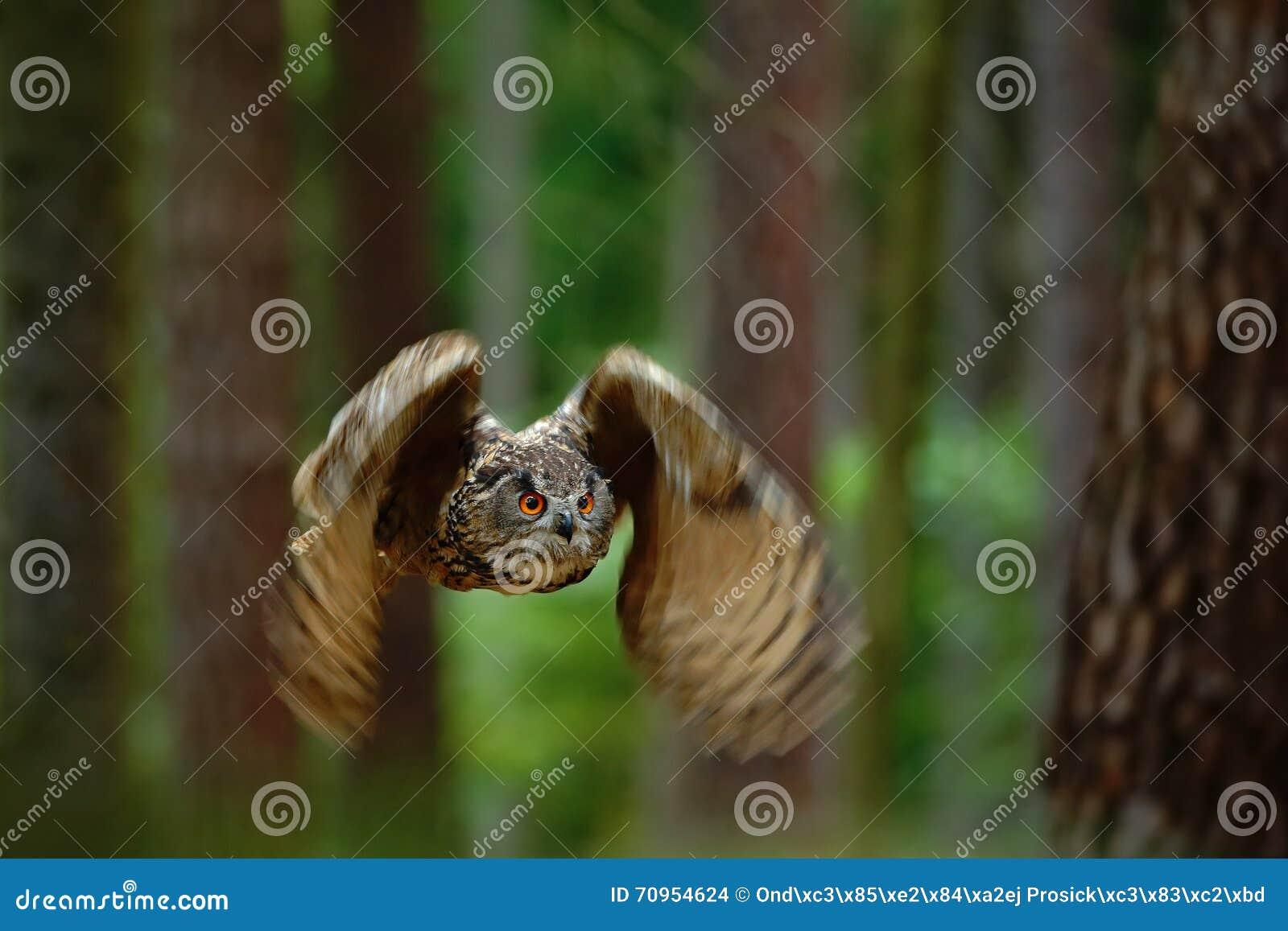 Eurasian Eagle Owl dell uccello di volo con le ali aperte nell habitat con gli alberi, Germania, scena animale della natura della