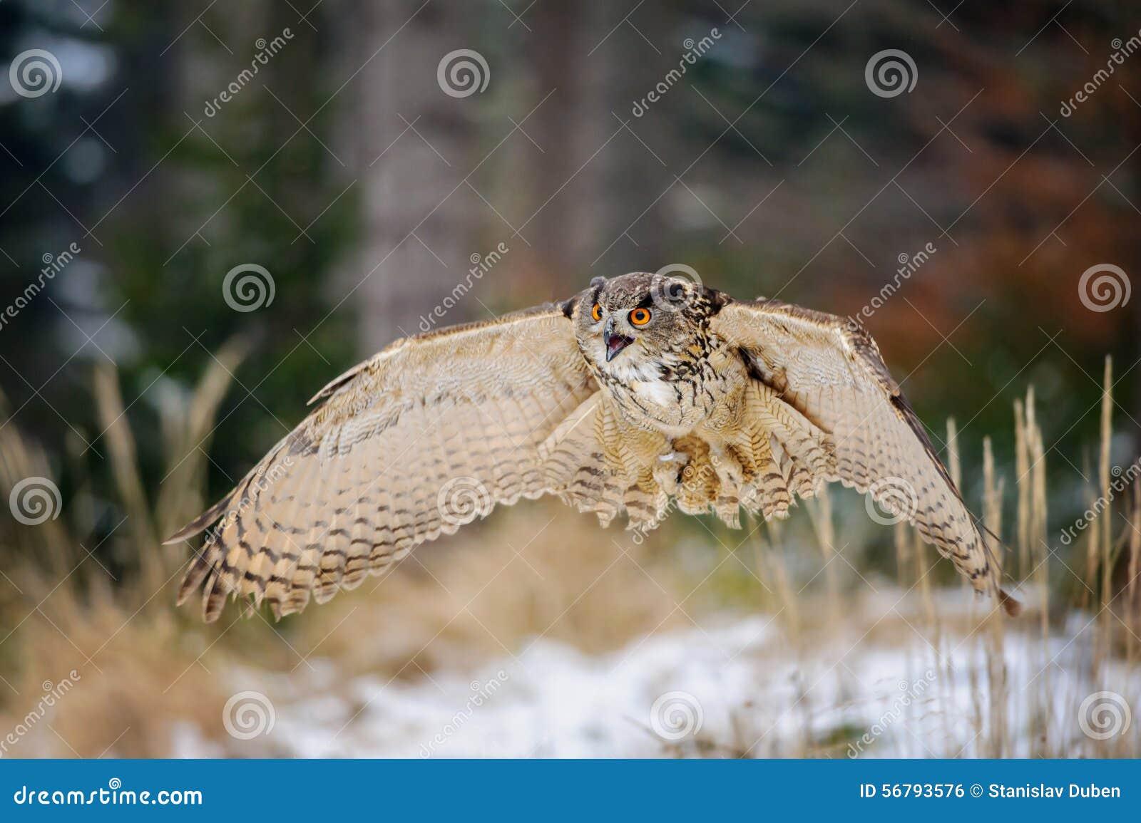 Eurasian Eagle Owl di volo nella foresta di inverno del colorfull