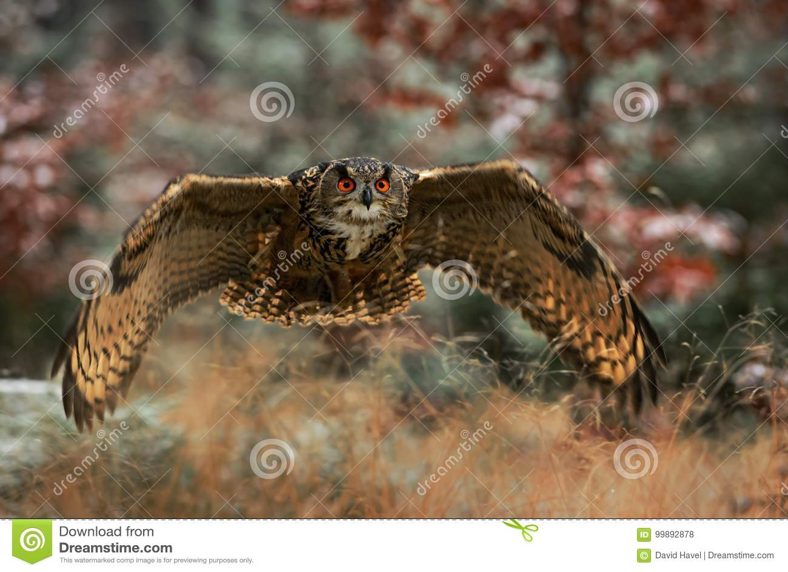 Eurasian Eagle-owl - Bubo bub