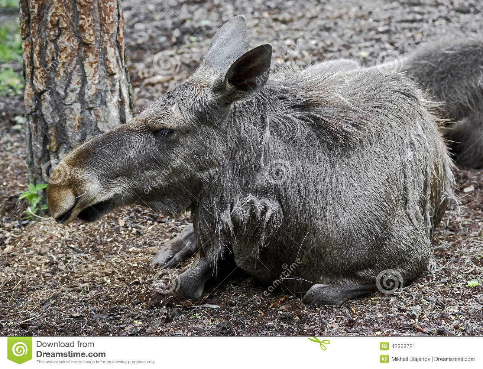 Eurasian elk - photo#8