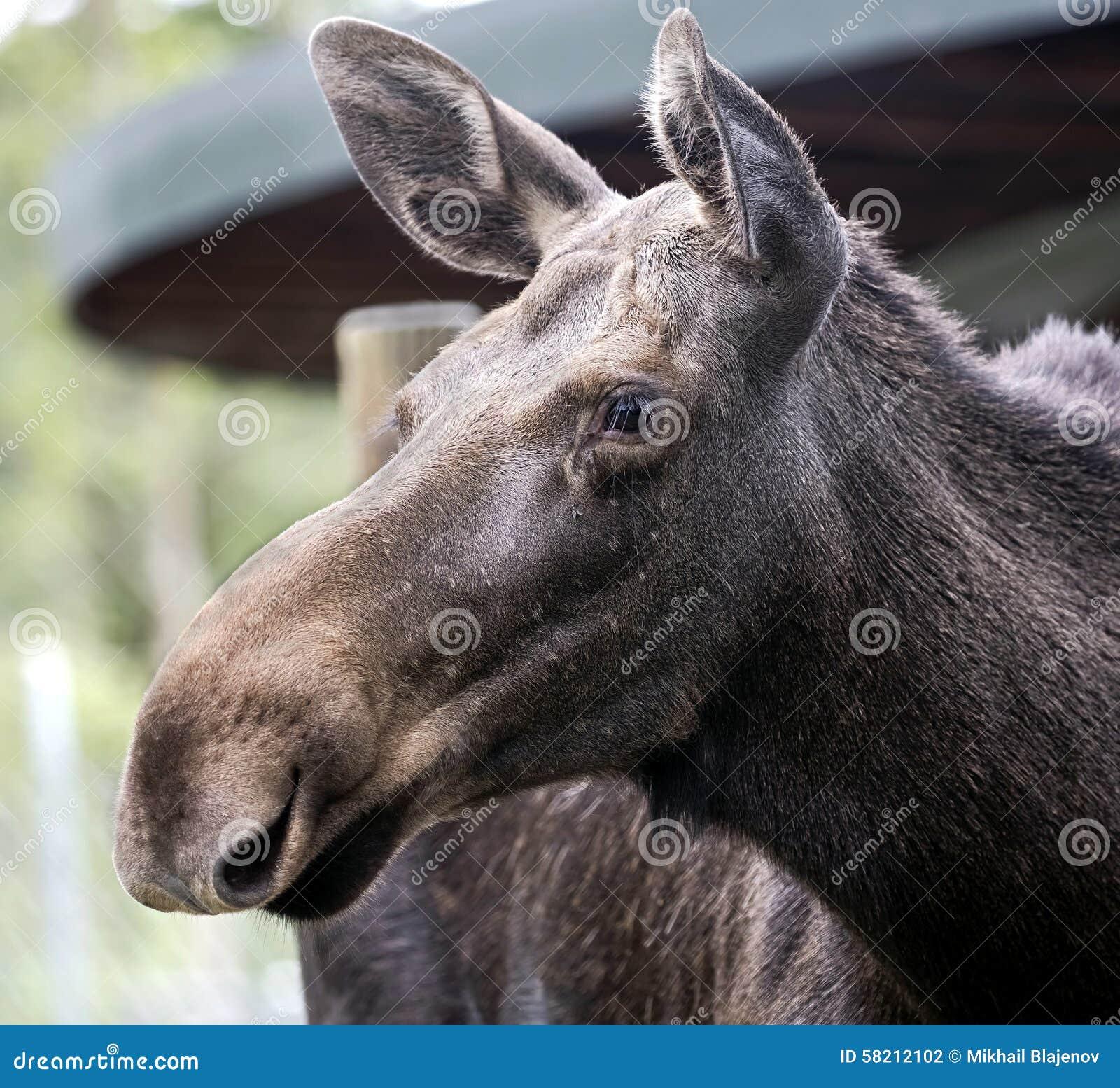 Eurasian elk - photo#22