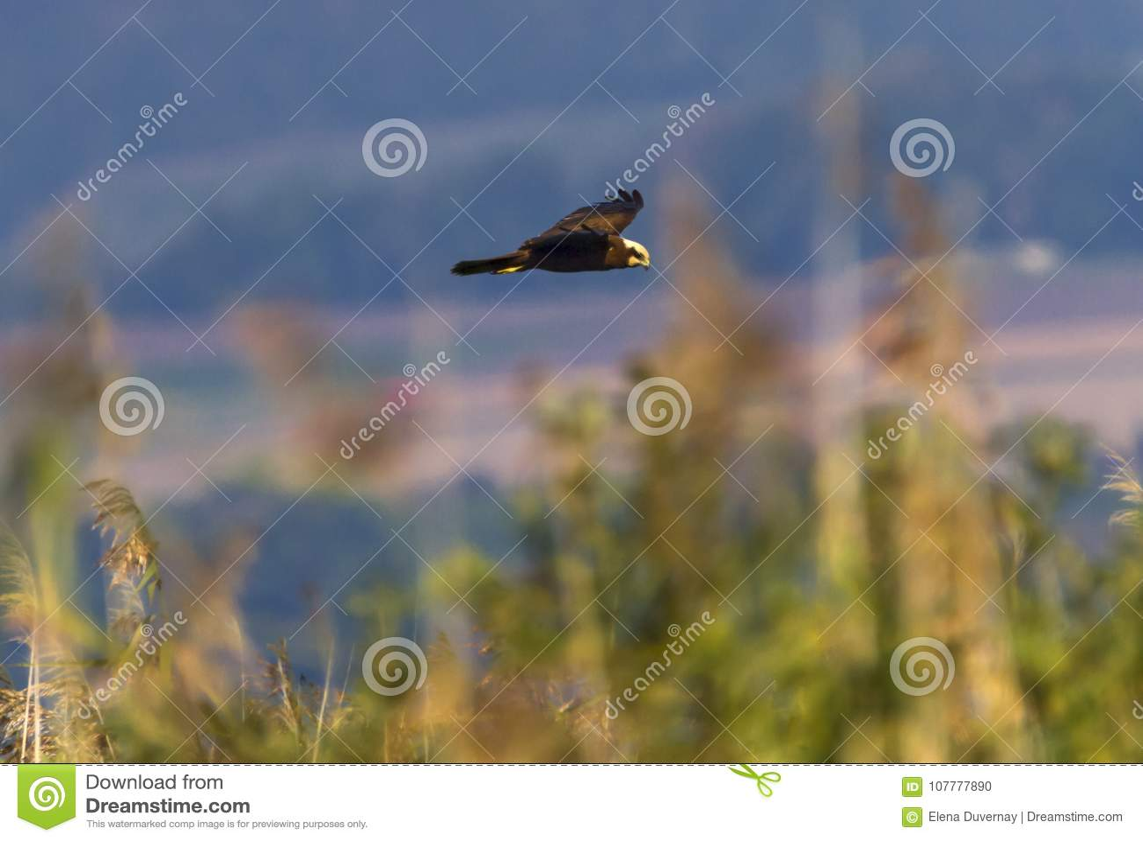 Eurasian eller västra träskengelsk harhund, cirkusaeruginosus som flyger på vasser, Neuchatel sjö, Schweiz