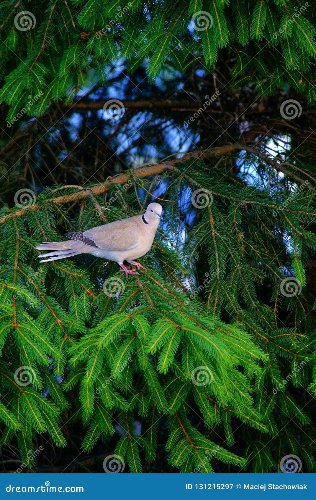 Eurasian försedd med krage duva som sitter på en trädstubbe, Streptopeliadecaocto