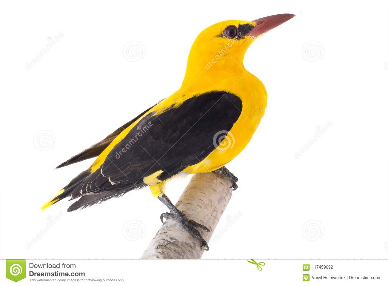 Curious Eurasian Golden Oriole Oriolus Oriolus Isolated On A White Background