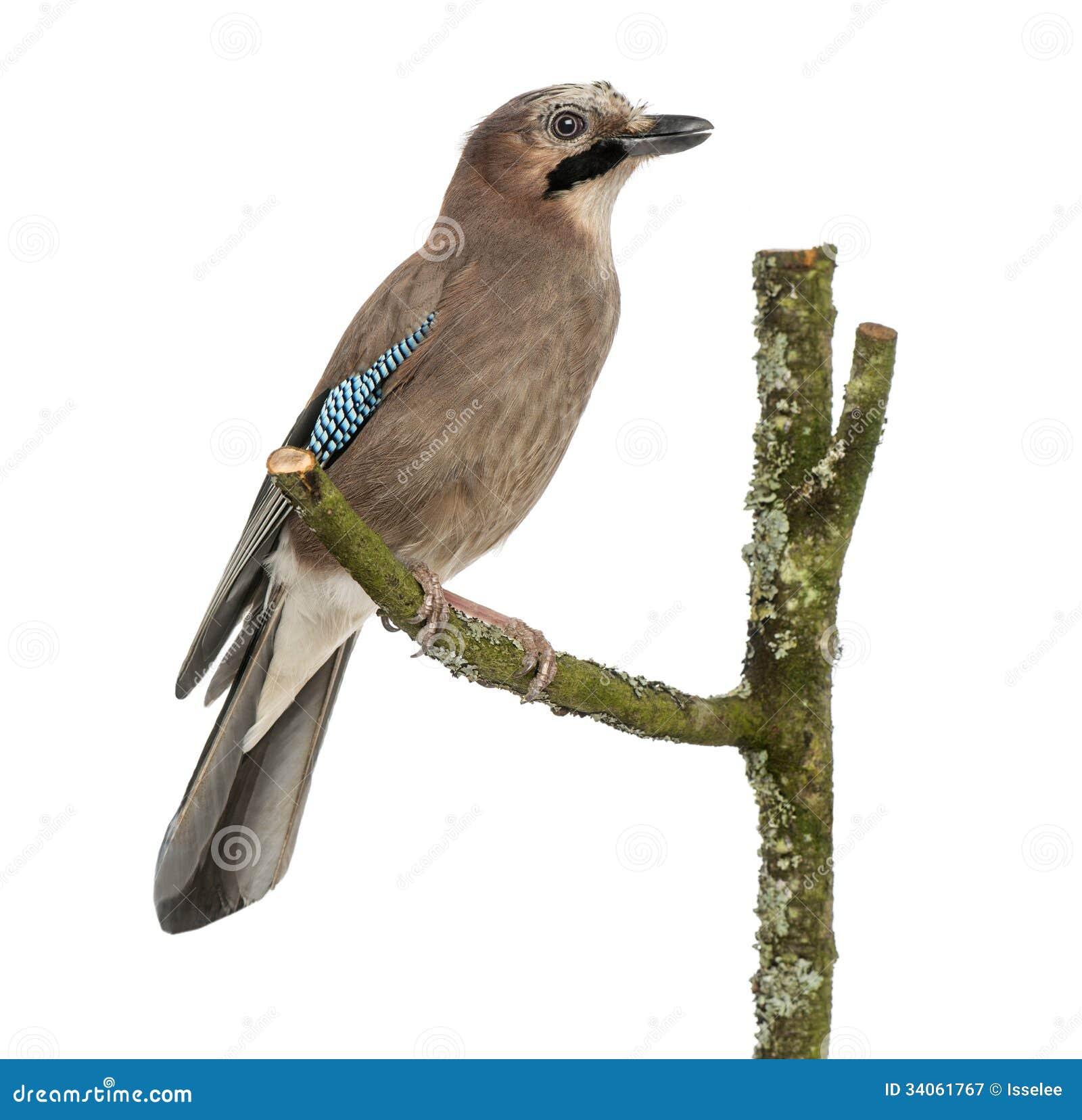 Eurasian Jay che si appollaia su un ramo, glandarius del Garrulus, isolato