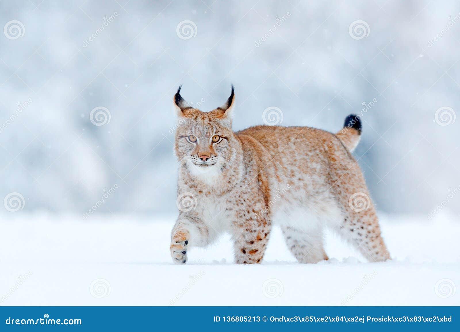 Eurasian lodjur, lös katt i skogen med snö Djurlivplats från vinternaturen Gullig stor katt i livsmiljön, kallt villkor snöig