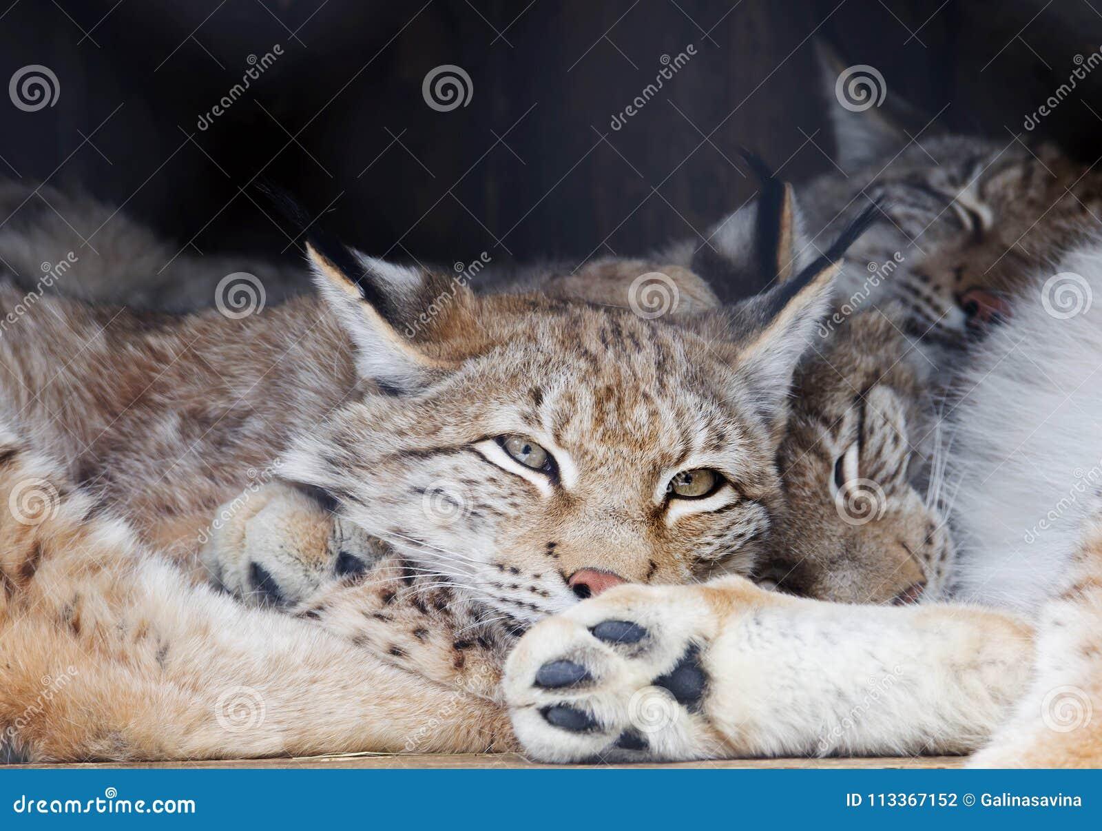 The Eurasian lynx.