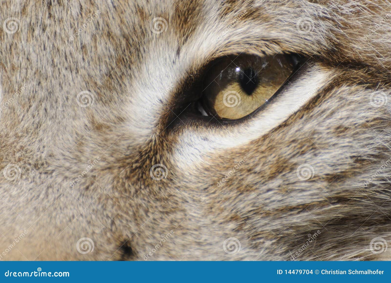 Eurasian lynx ( lynx lynx )