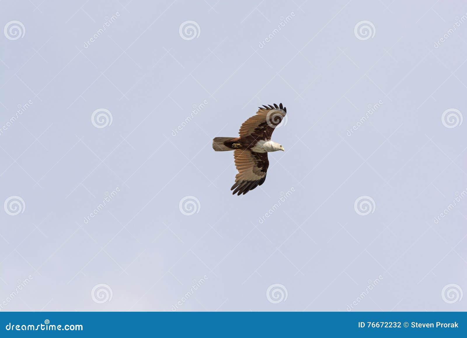 Eurasian Marsh Harrier in volo