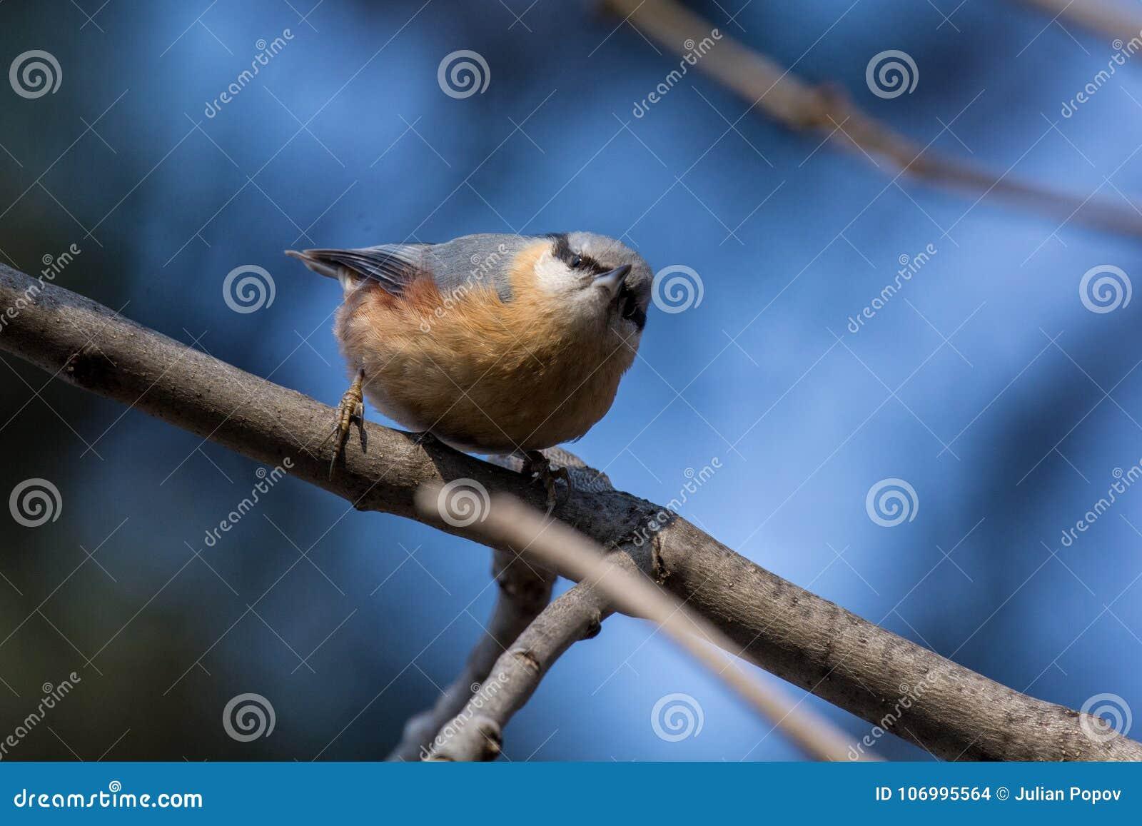 European nuthatch Sitta europaea on a tree bark