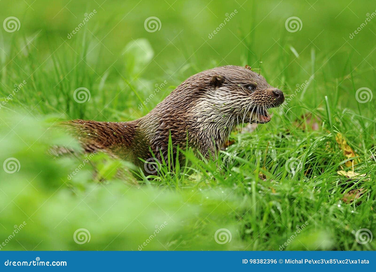 The Eurasian otter Lutra lutra