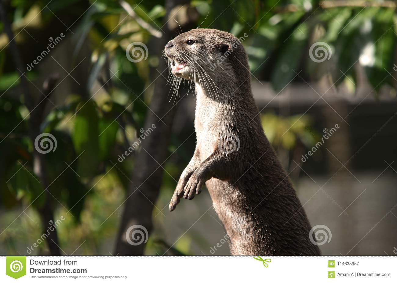 Eurasian Otter Standing on its Hind Legs