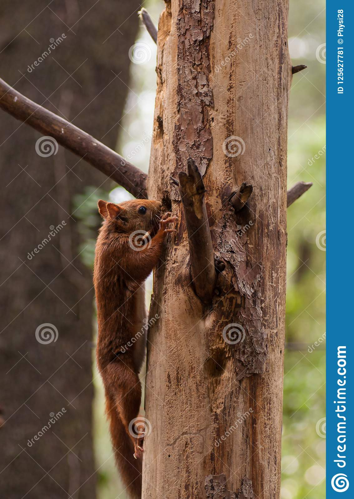 Eurasian Red Squirrel climbing on tree
