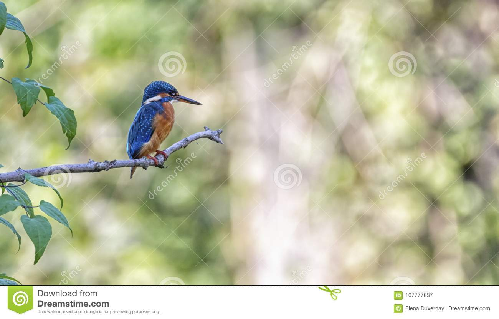 Eurasian, river or common kingfisher, alcedo atthis, Neuchatel, Switzerland