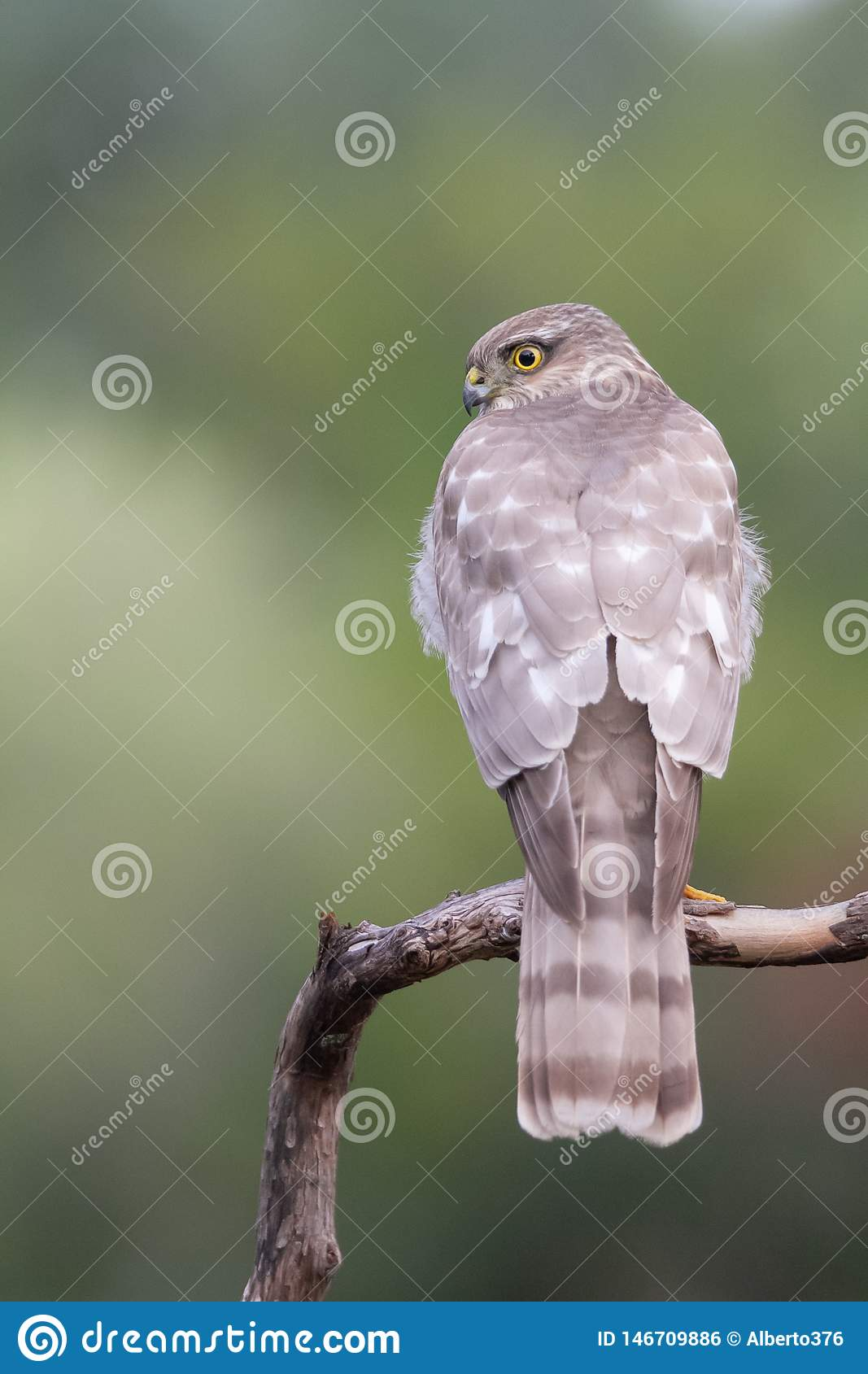 The Eurasian Sparrowhawk, in the beautiful colorful autumn environment