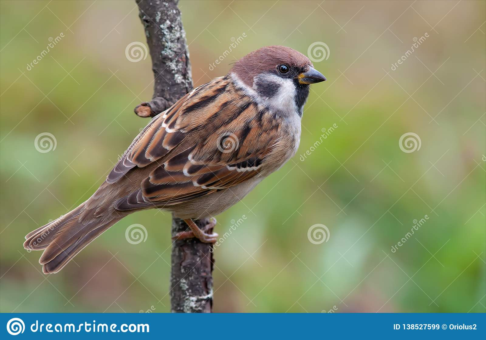 Eurasian tree sparrow sits on lichen covered branch with view from his back