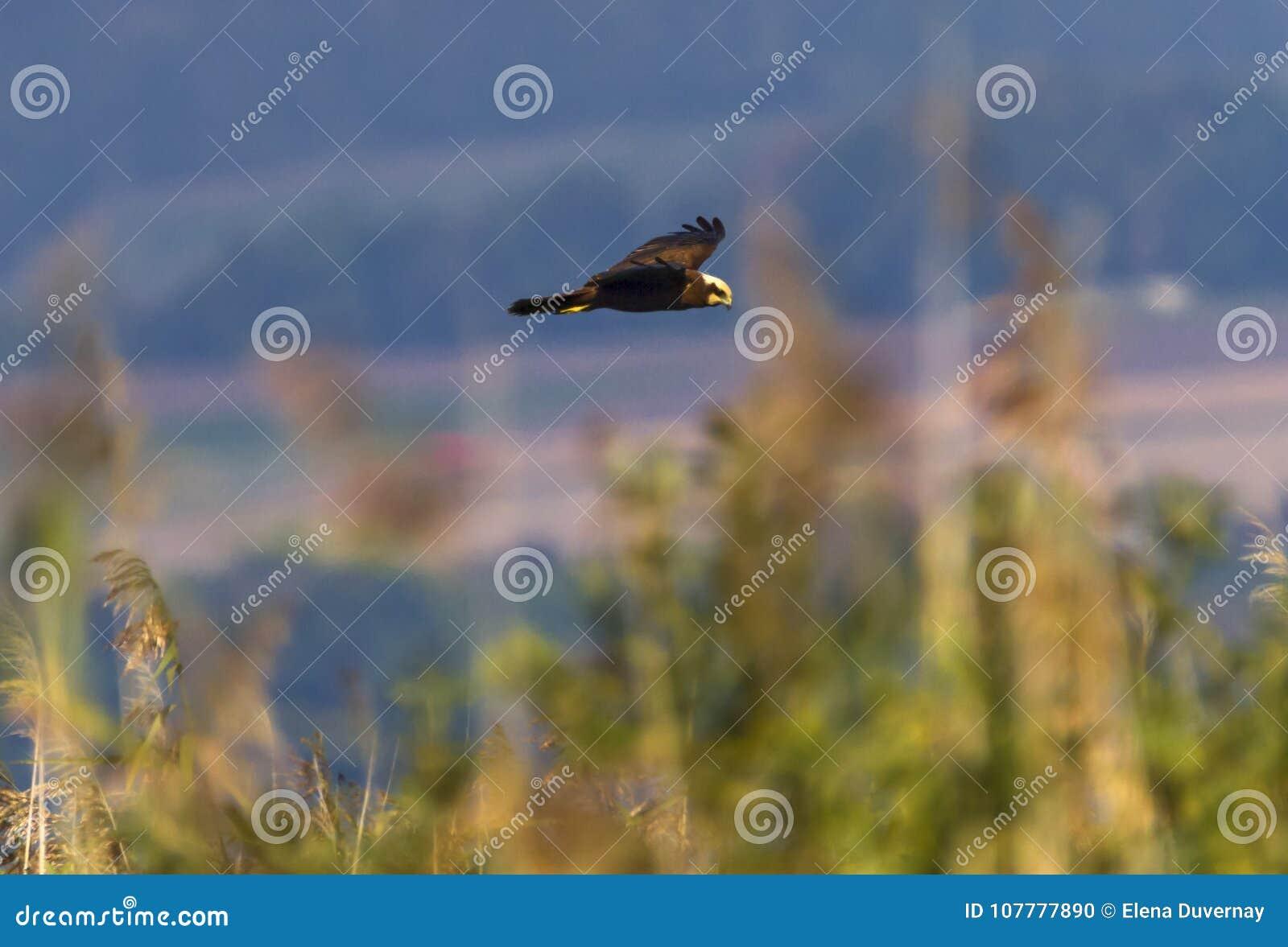 Eurasian or western marsh harrier, circus aeruginosus, flying upon reeds, Neuchatel lake, Switzerland