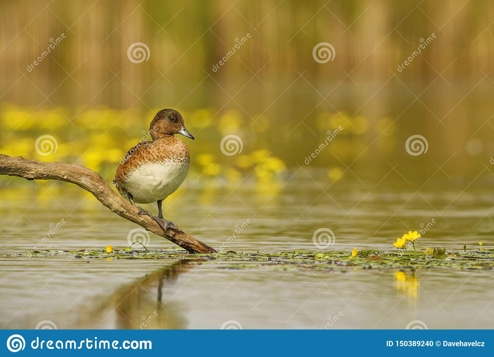 Eurasian Wigeon - Anas penelope