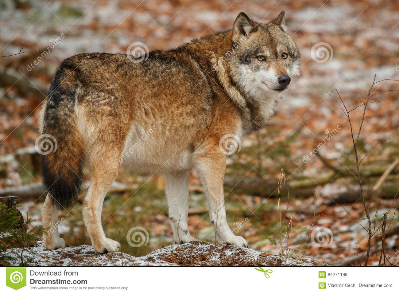 Wolf Germany eurasian wolf in nature habitat in bavarian forest stock image