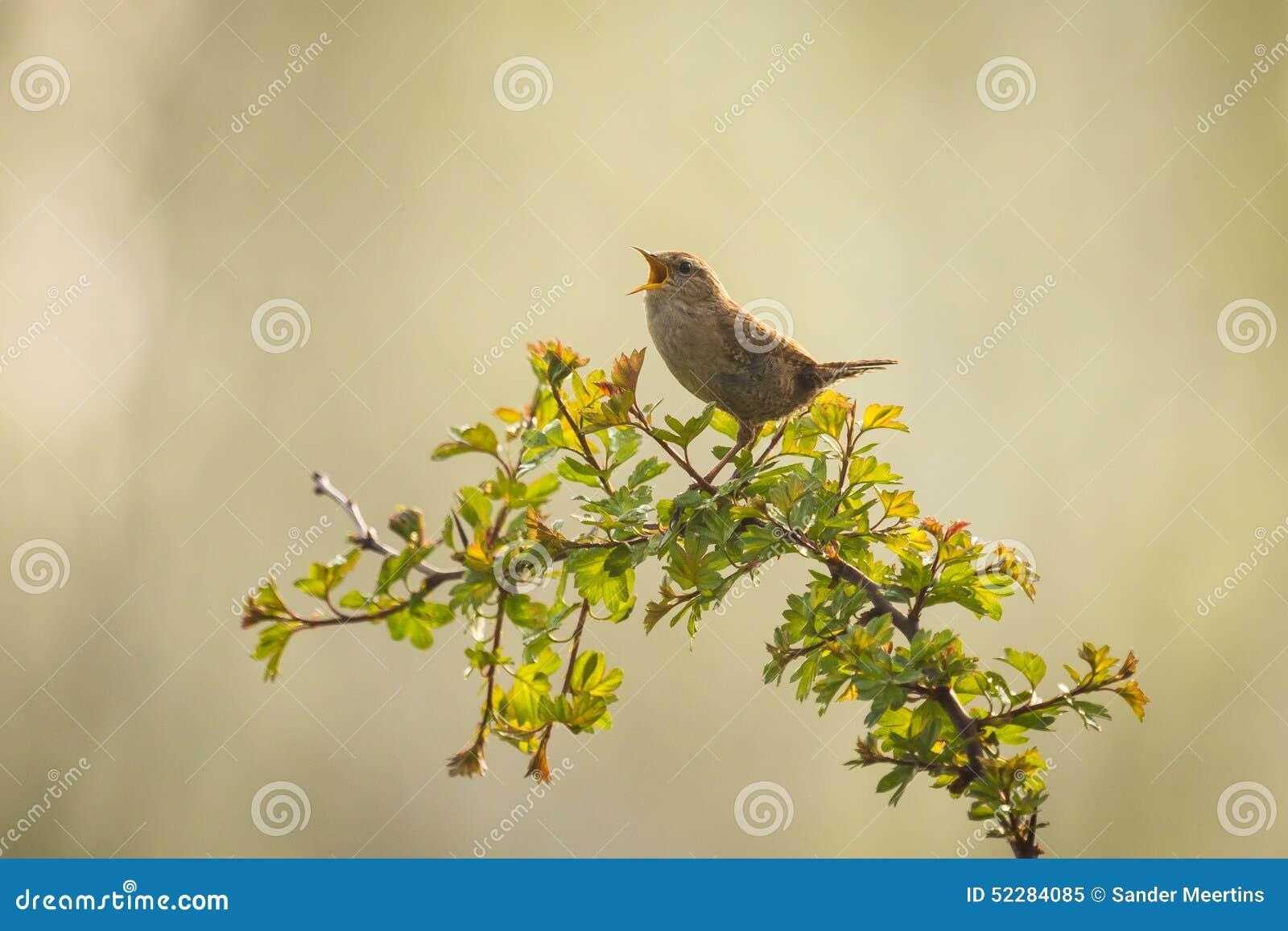 Eurasian Wren Bird Singing