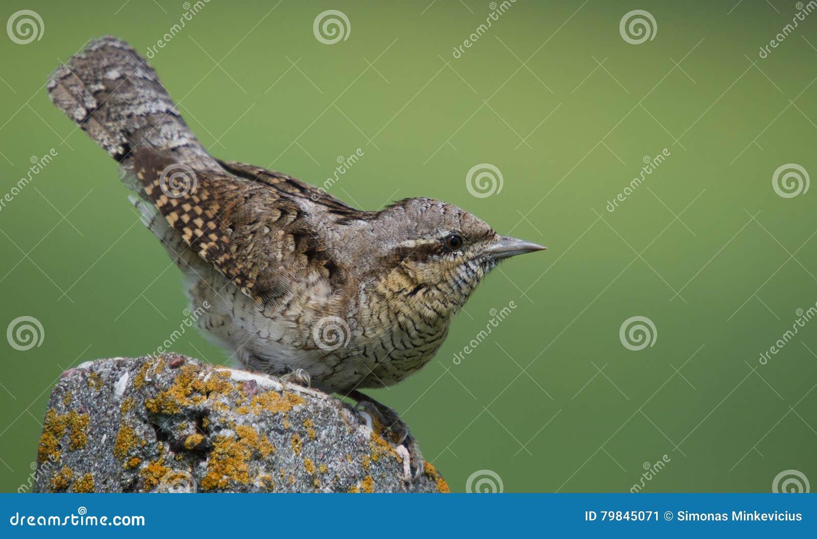 Eurasian Wryneck - torquilla del Jynx