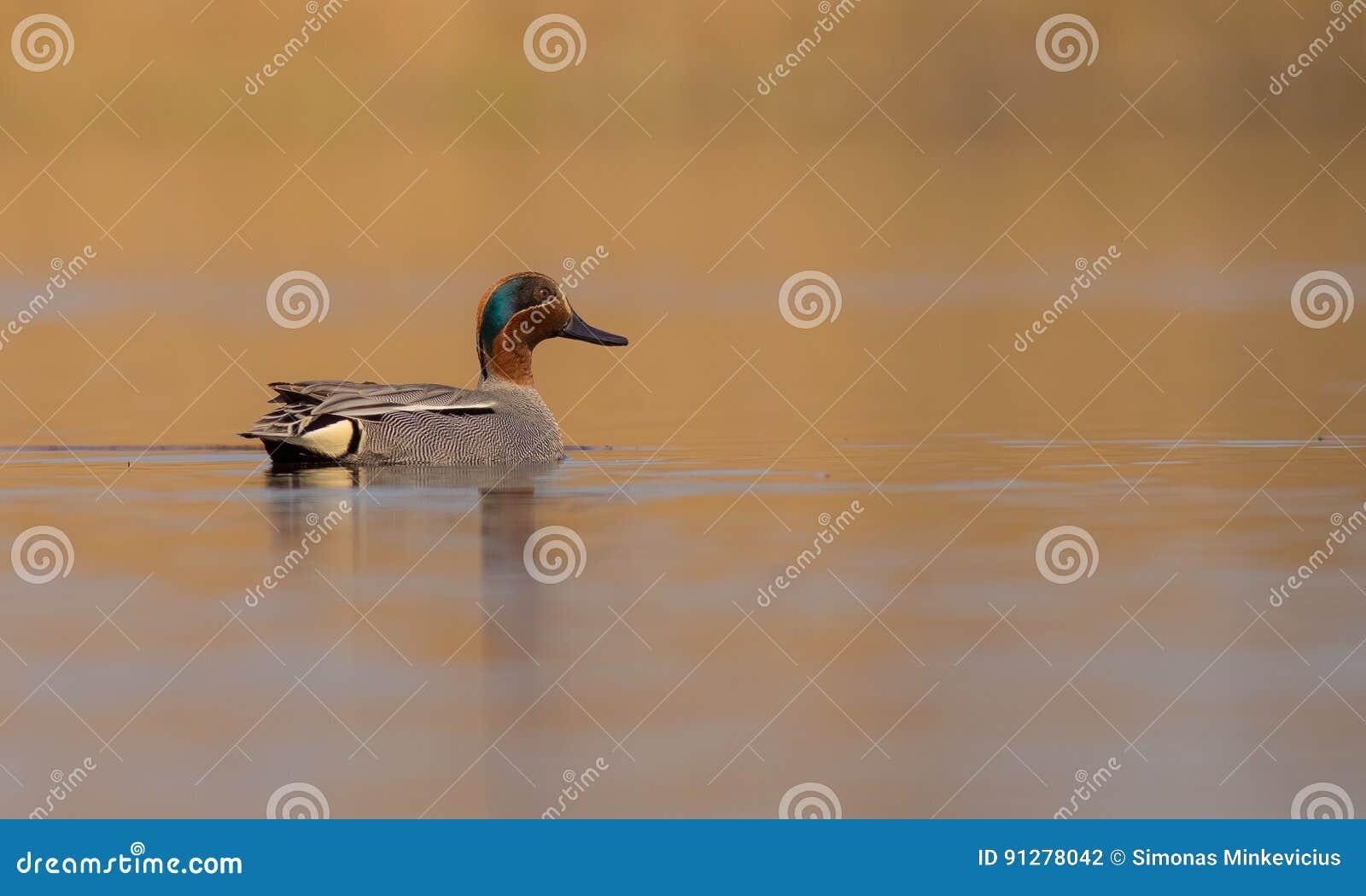 Eurasiankricka - Anascrecca