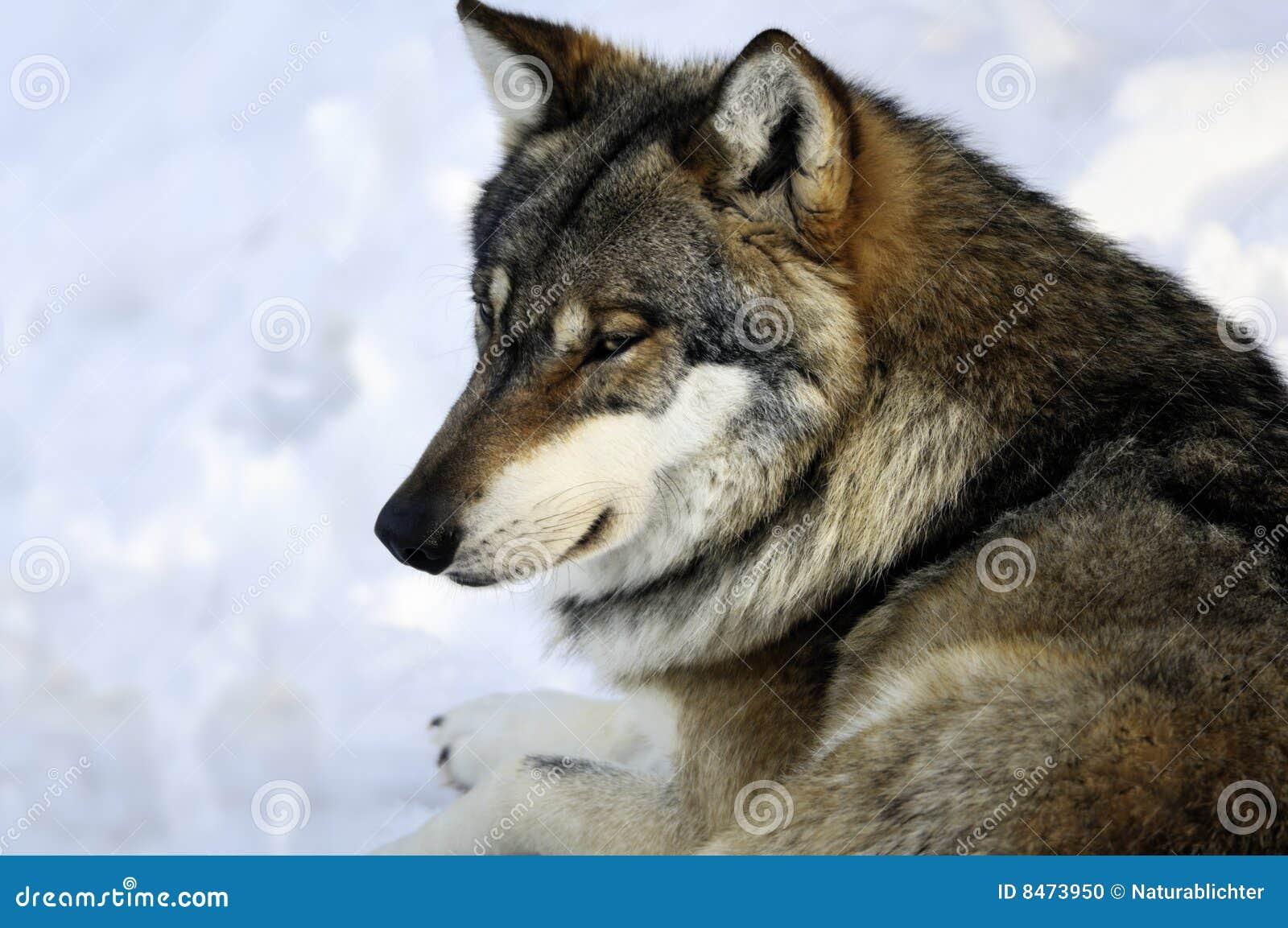 Eurasianvinterwolf