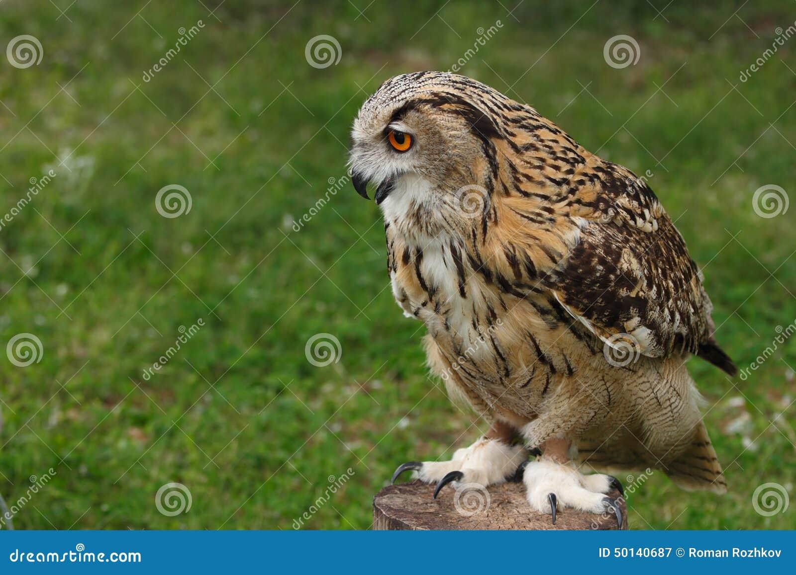 Eurasien Eagle Owl