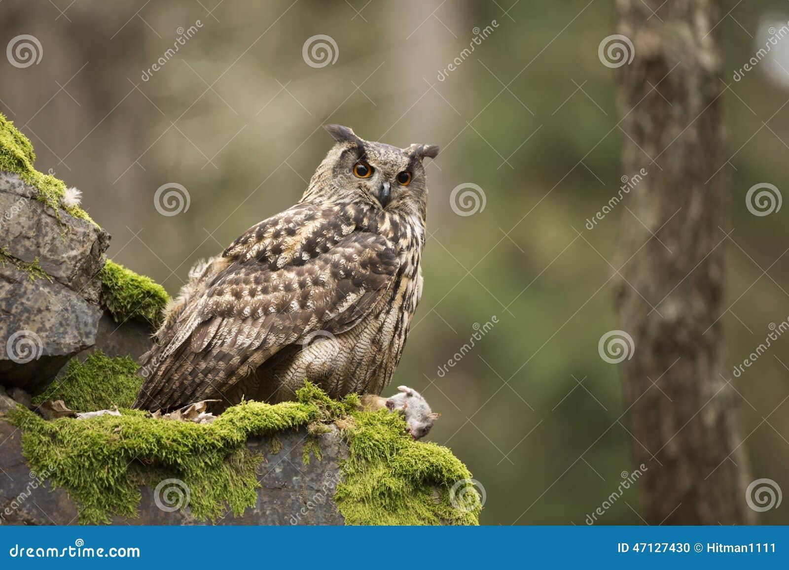 Eurasien Eagle Owl avec la proie