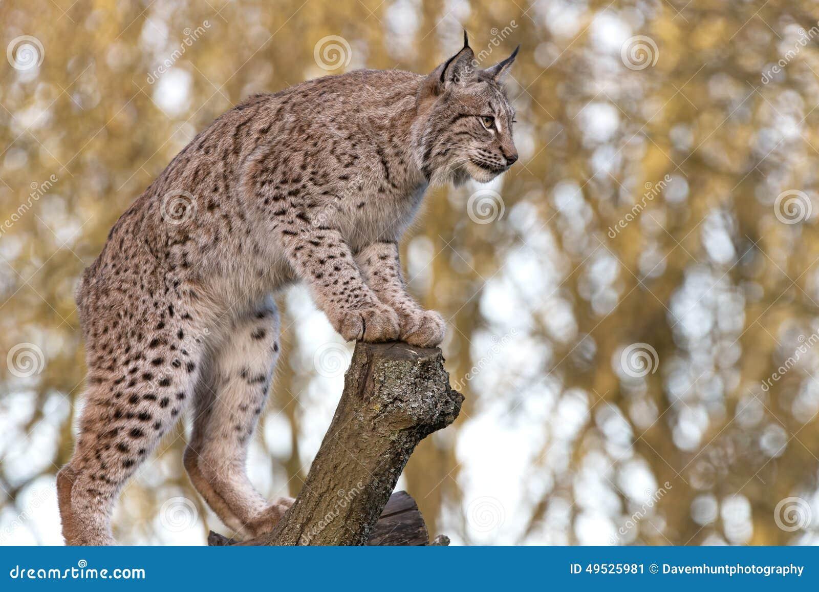 Eurasien Lynx