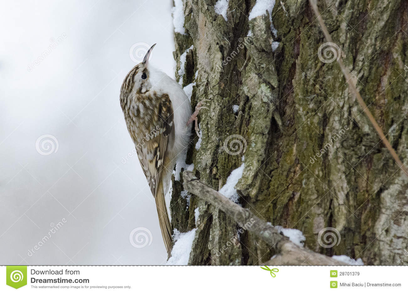 Eurasien Treecreeper