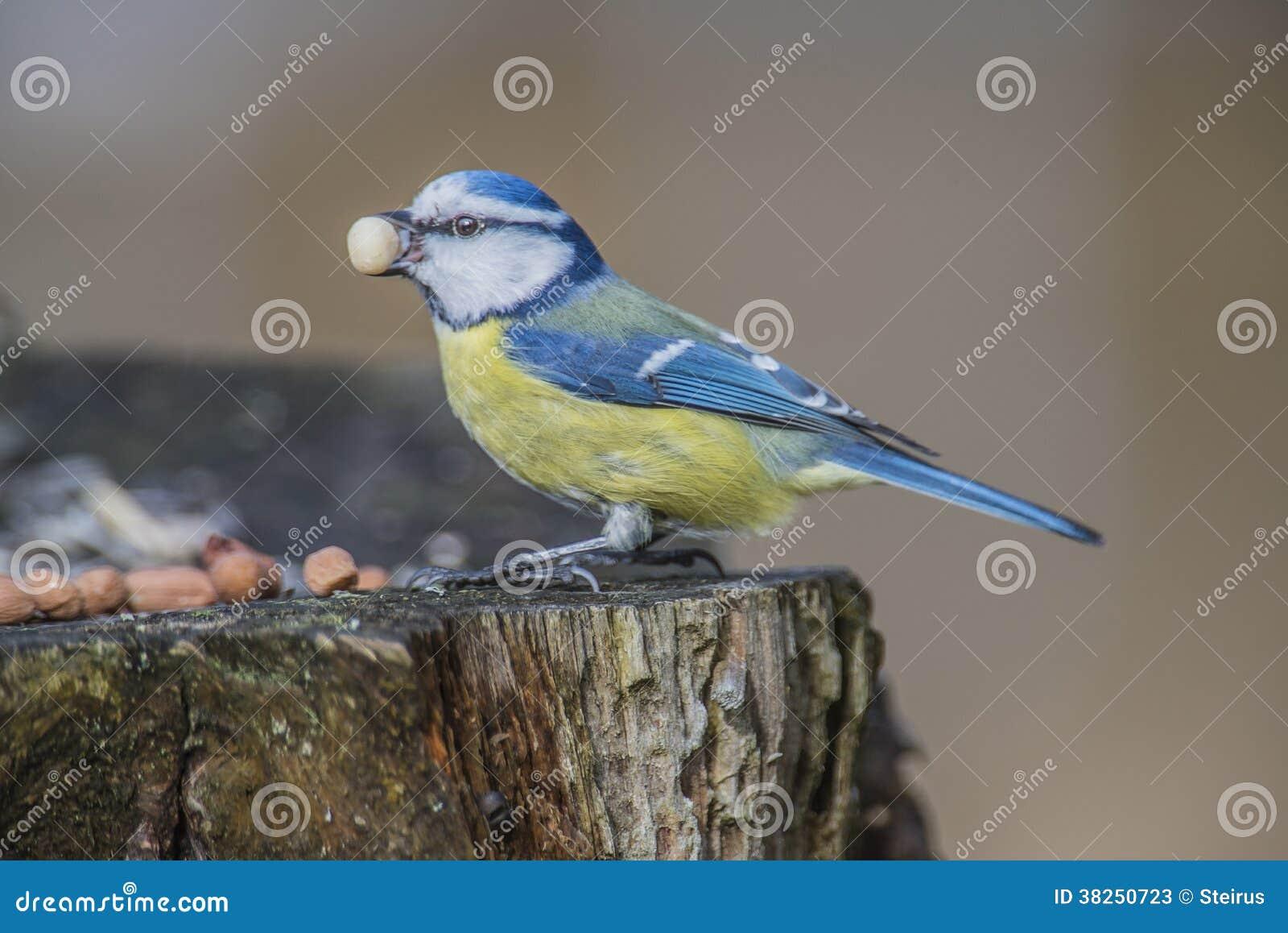 Eurasische Blaumeise (Cyanistes-caeruleus oder Parus caeruleus)