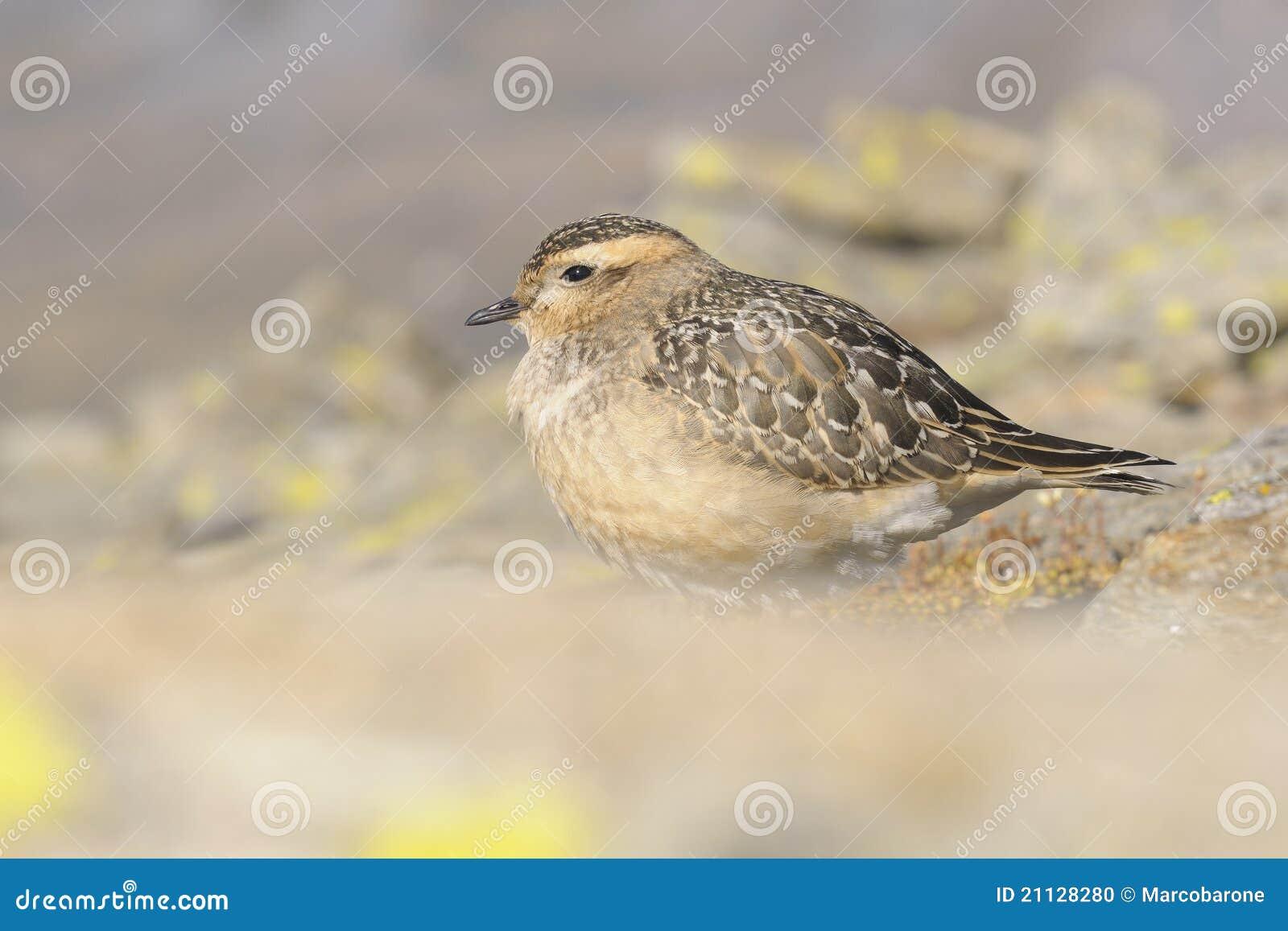 Eurasischer Mornellregenpfeifer (Charadrius morinellus)