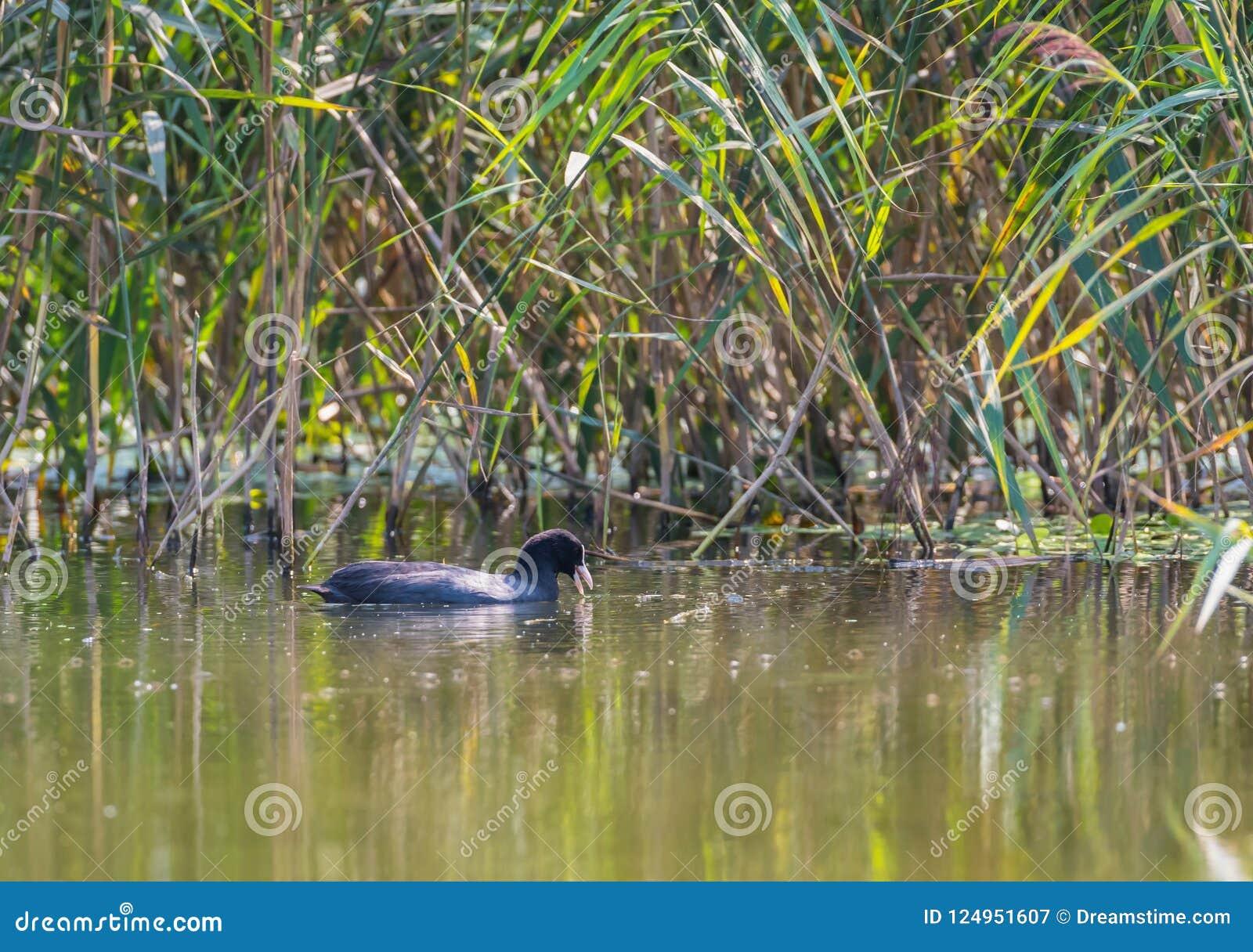 Eurasisches Blässhuhn mit einem offenen Schnabel im See