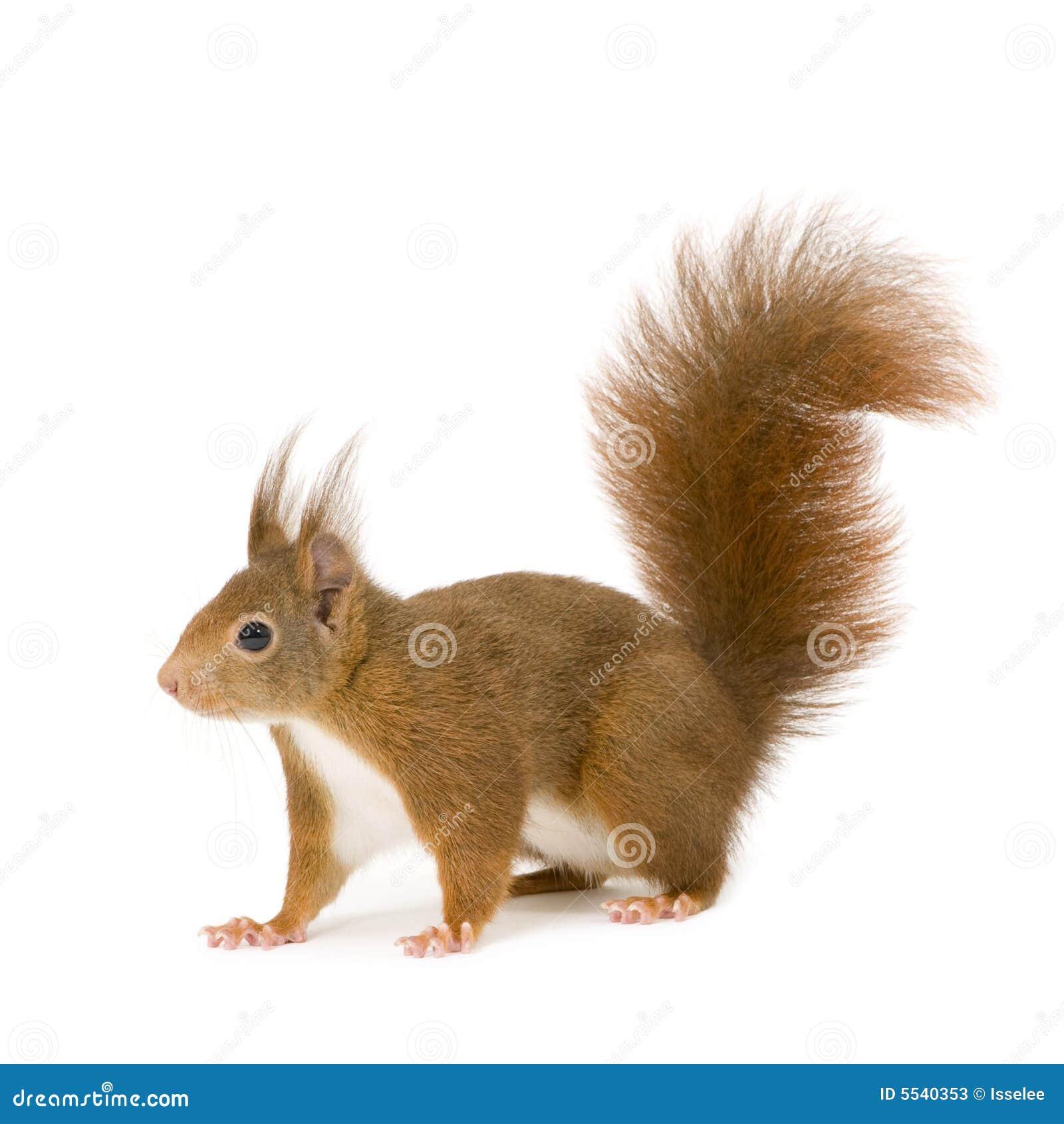 Eurasisches rotes Eichhörnchen - Sciurus gemein (2 Jahre)