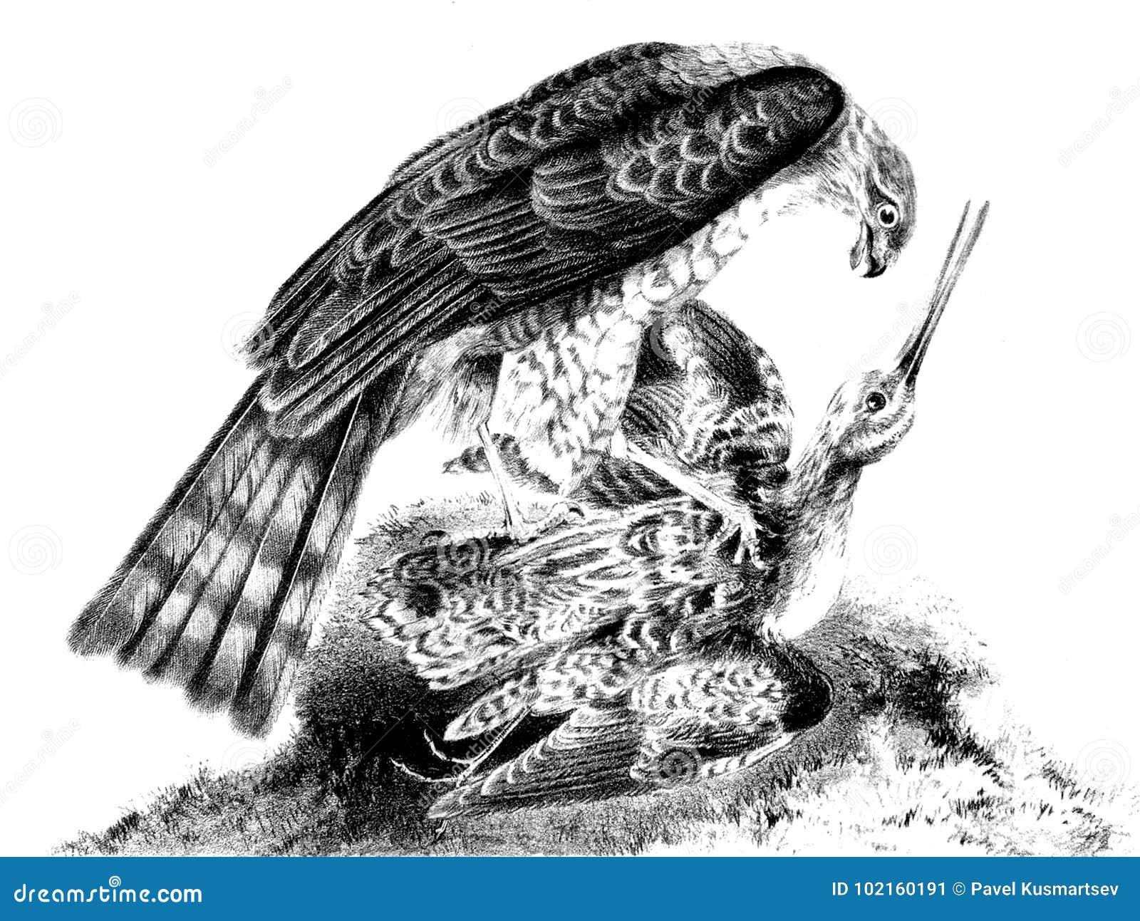 Eurazjata Sparrowhawk Myśliwy i ofiara