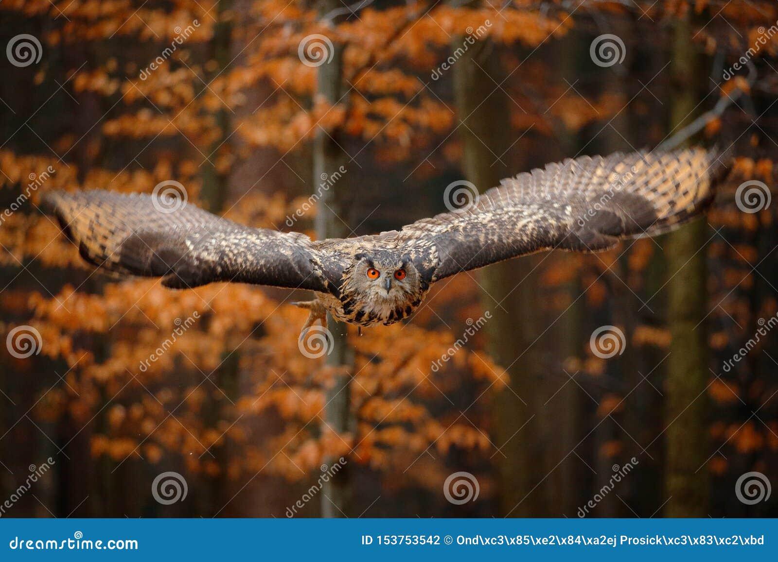 Eurazjaty Eagle sowa, dymienicy dymienica z otwartymi skrzyd?ami w locie, lasowy siedlisko w tle, pomara?czowi jesieni drzewa Prz