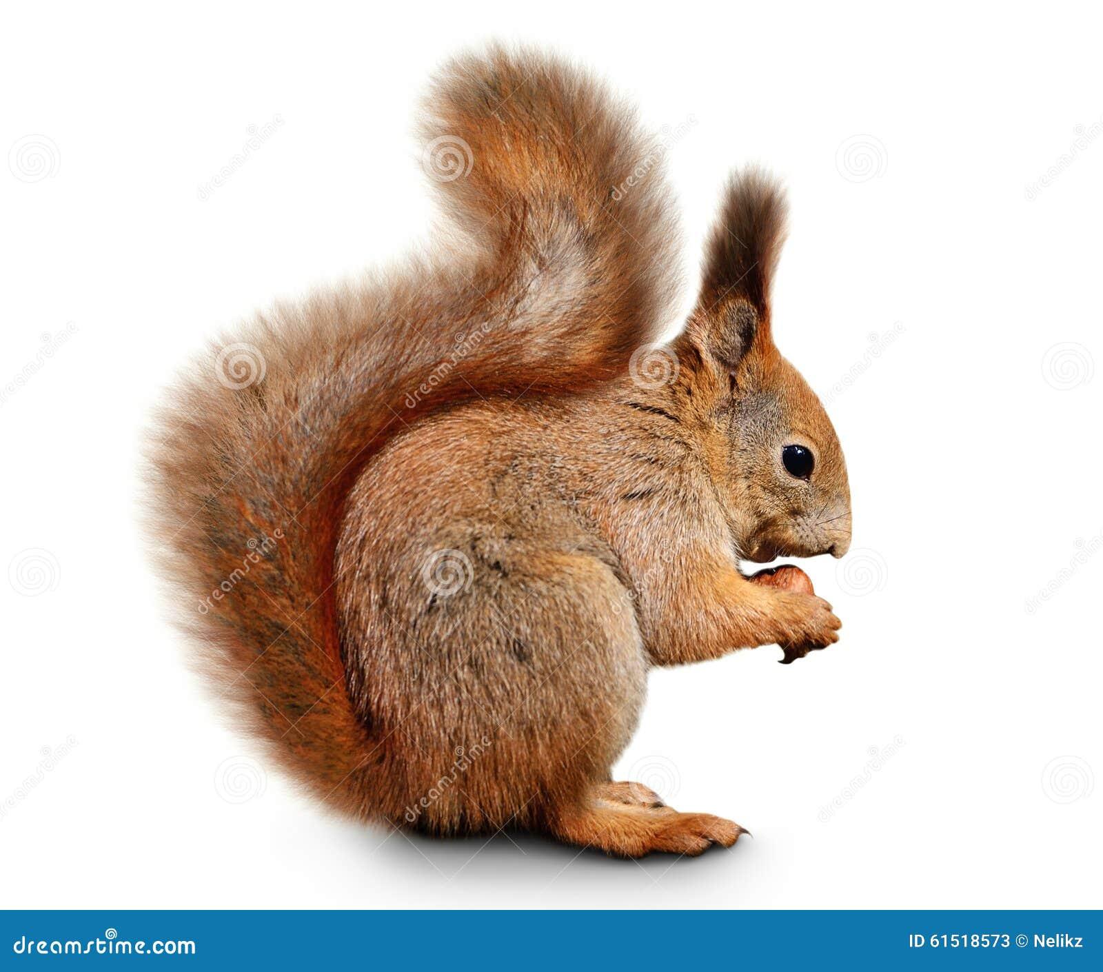Eurazjatycka czerwona wiewiórka przed białym tłem
