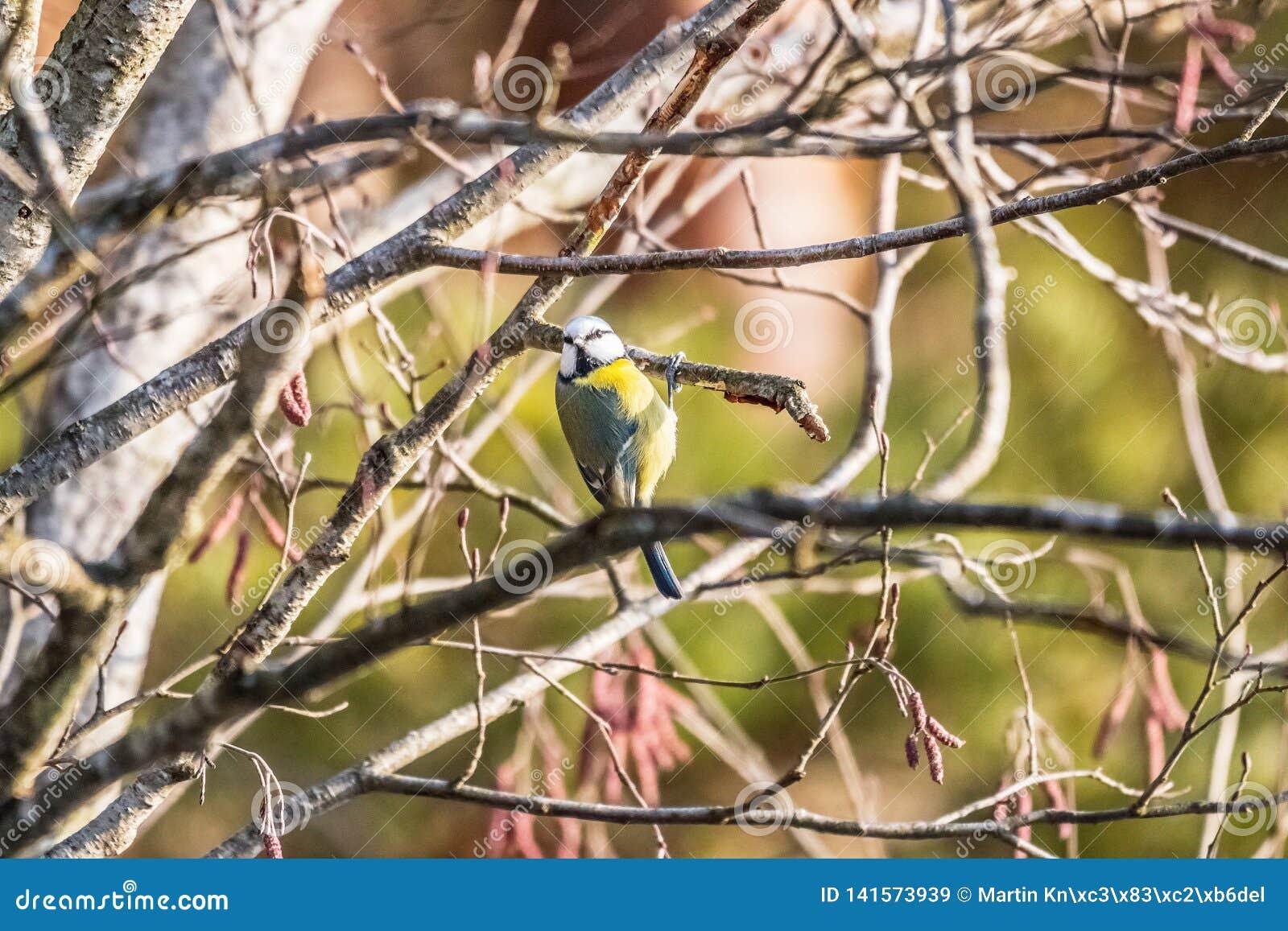 Eurazjatycki błękitnego tit obsiadanie na gałąź