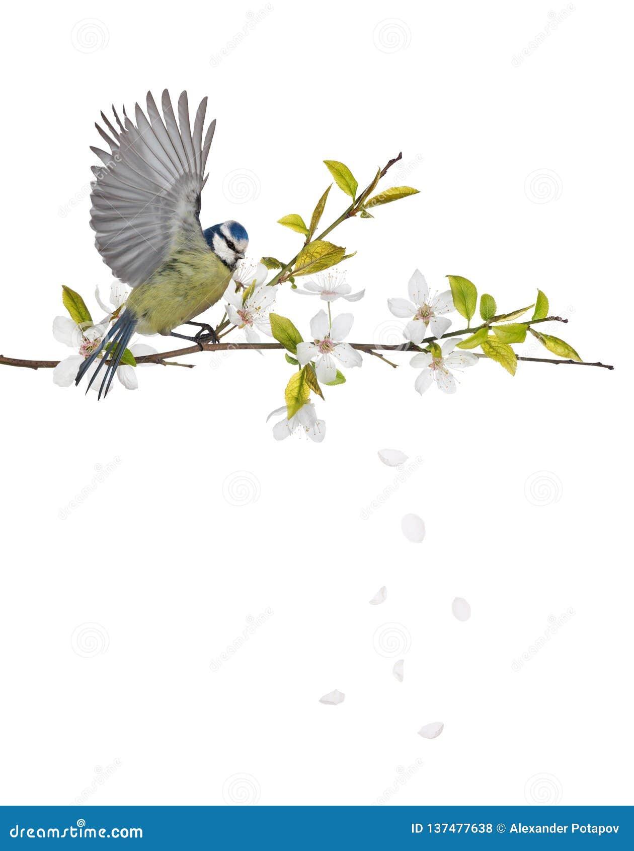 Eurazjatycki błękitny tit na czereśniowym drzewie kwitnie gałąź