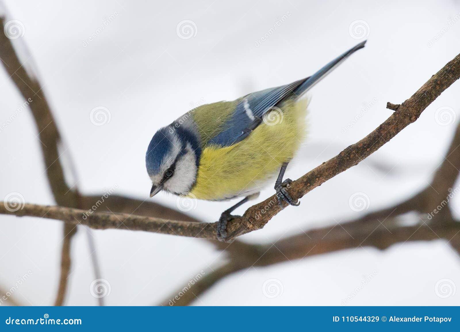 Eurazjatycki błękitny tit na gałąź przy zimą