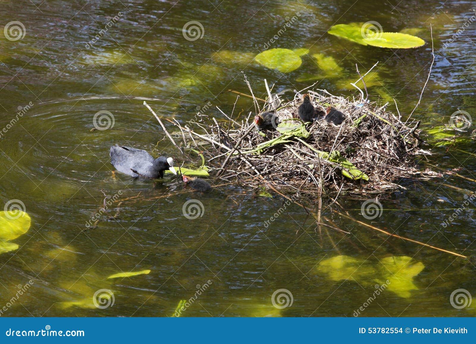 Eurazjatycki coot z juveniles
