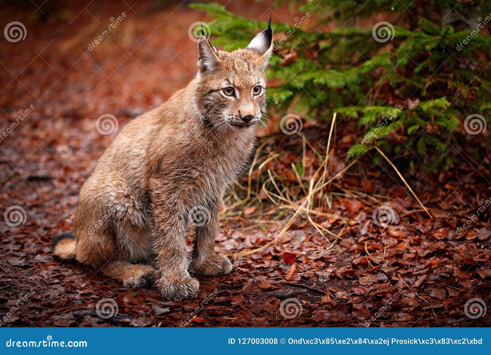 Eurazjatycki rysia obsiadanie w pomarańczowych liściach Dziki kot od Niemcy Ryś rudy wśród drzew Łowiecki carnivore w jesieni tra