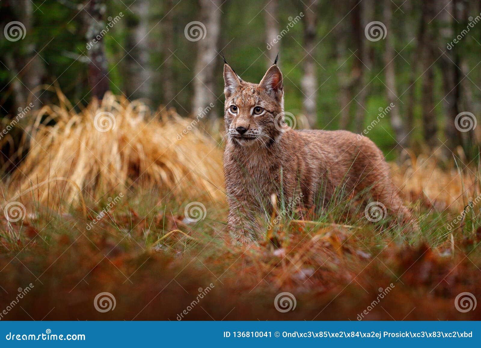 Eurazjatycki rysia odprowadzenie Dziki kot od Niemcy Ryś rudy wśród drzew Łowiecki carnivore w jesieni trawie Ryś w zielonym lesi