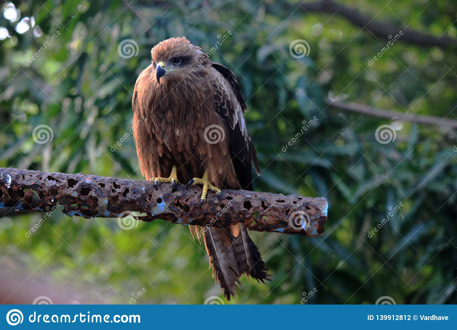 Eurazjatycki sparrowhawk, maharashtra lasy, India