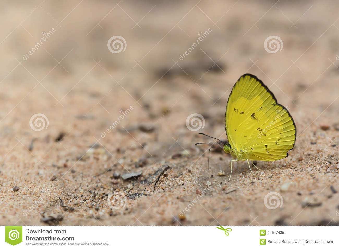 Eurema smilax, small grass yellow butterfly on brown soil