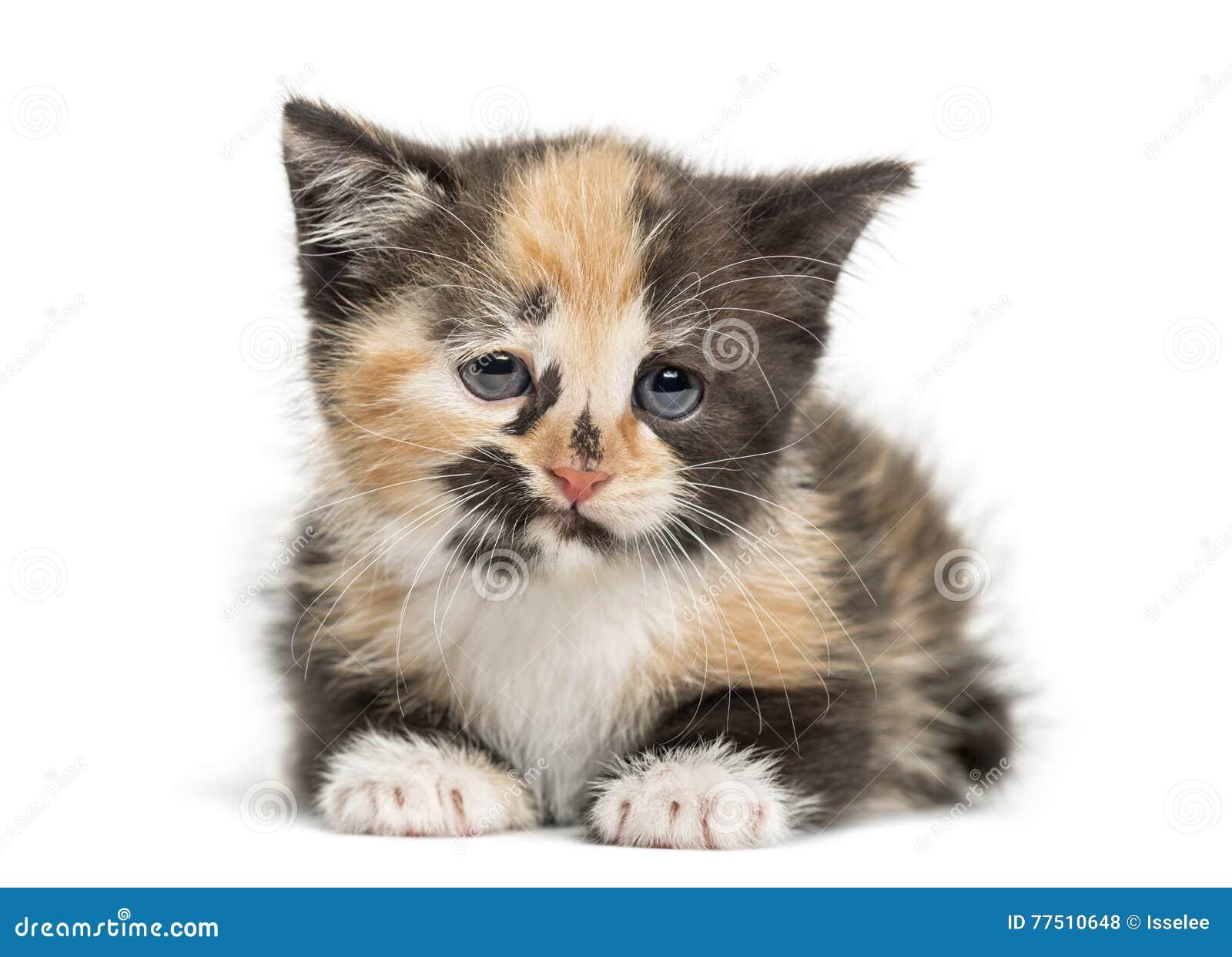 Europaisch Kurzhaar Katzchen Einmonatiges Baby Lokalisiert Auf Weiss Stockfoto Bild Von Tortoiseshell Traurig 77510648